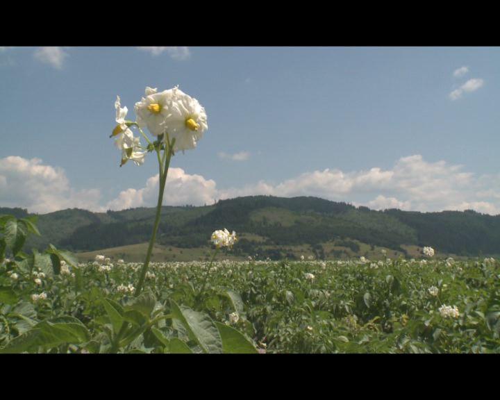 Pityókahelyzet Hargita megyében